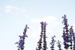 mooie violette lavendelbloemen met blauwe hemelachtergrond Sel Royalty-vrije Stock Afbeeldingen