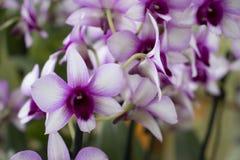 Mooie violette orchidee in de tuin stock afbeelding