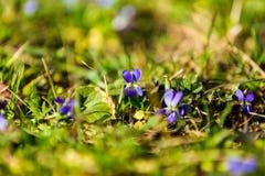 Mooie viooltjes Royalty-vrije Stock Afbeelding