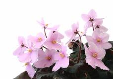 Mooie viooltjes Royalty-vrije Stock Foto's