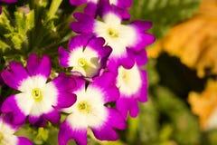 Mooie viooltjes in de vroege herfst Stock Foto's