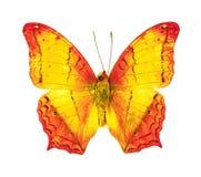 Mooie vliegende vlinder, Gemeenschappelijke erota van Kruiservindula met zich volledig vleugels uitrekken geïsoleerd op witte ach royalty-vrije stock foto