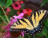 Mooie Vlinder Stock Afbeeldingen