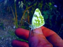 Mooie Vlinder Royalty-vrije Stock Foto