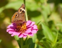 Mooie vlinder Buckeye Royalty-vrije Stock Foto