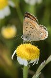 Mooie vlinder in een gele bloem Stock Foto's