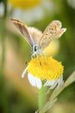 Mooie vlinder in een gele bloem Stock Afbeelding