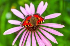 Mooie vlinder en echinaceabloem in de zomer Royalty-vrije Stock Foto
