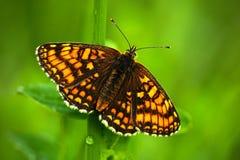 Mooie vlinder, Heath Fritillary die, Melitaea-athalia, op de groene bladeren, insect in de aardhabitat, de lente in zitten Royalty-vrije Stock Foto's