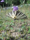 Mooie vlinder` Iphiclides podalirius L ` Stock Afbeelding