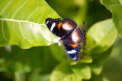 Mooie vlinder met open vleugels Royalty-vrije Stock Foto's