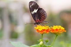 Mooie vlinder op bloem Royalty-vrije Stock Afbeelding