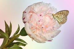 Mooie vlinder op gevoelige romig-roze pioenbloem met gr. stock fotografie