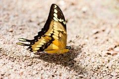 Mooie vlinder op steen Royalty-vrije Stock Afbeelding