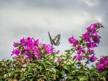 Mooie vlinder van DEM van de citrusvruchten swallowtail papilio van Tanzania stock fotografie