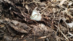 mooie vlinders die bovenop mest van koemest worden neergestreken stock afbeelding