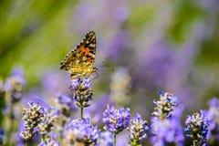 Mooie vlinderzitting op bloemen Stock Afbeelding