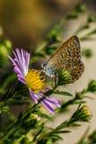 Mooie vlinderzitting op een bloem Stock Foto's