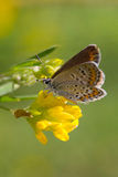 Mooie vlinderzitting op een bloem Stock Fotografie