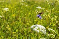 Mooie vlinderzitting op groen grasgebied met bloemen Royalty-vrije Stock Afbeelding