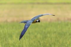 Mooie vogel die in aard vliegen Stock Afbeeldingen