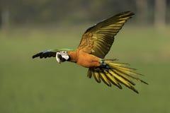 Mooie vogel die in aard vliegen Royalty-vrije Stock Foto's
