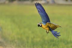 Mooie vogel die in aardlandbouwbedrijf vliegen Royalty-vrije Stock Foto