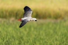 Mooie vogel die in aardlandbouwbedrijf vliegen Royalty-vrije Stock Afbeelding