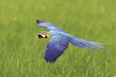Mooie vogel die op aardachtergrond vliegt Royalty-vrije Stock Afbeeldingen