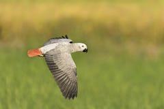 Mooie vogel die op aardachtergrond vliegt Stock Fotografie
