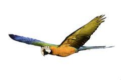 Mooie vogel die op witte achtergrond vliegen Royalty-vrije Stock Foto's