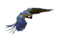 Mooie vogel die op witte achtergrond vliegen Stock Afbeeldingen