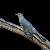 Mooie vogel, Himalayan-Koekoek Stock Foto
