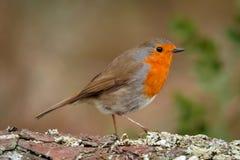 Mooie vogel met een aardig oranjerood gevederte stock afbeeldingen