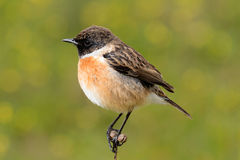 Mooie vogel op aard Royalty-vrije Stock Fotografie