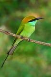 Mooie vogel van Sri Lanka Weinig Groene bij-Eter, Merops-orientalis, exotische groene en gele zeldzame vogel van Sri Lanka kleur royalty-vrije stock fotografie