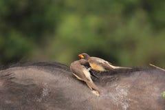 Mooie vogels op kaapbuffels royalty-vrije stock fotografie