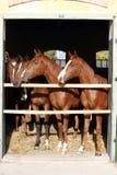 Mooie volbloed- veulennen die over stabiele deur kijken Royalty-vrije Stock Foto