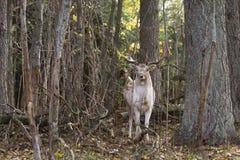 Mooie volwassen herten in bos Stock Foto's