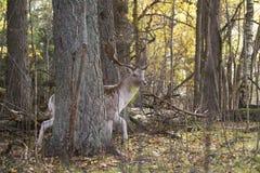 Mooie volwassen herten in bos Royalty-vrije Stock Foto