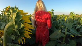 Mooie vrouw die in rode kleding op zonnebloemgebied lopen, langzame motie stock footage