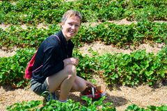 Mooie vrouw die strawberr plukt Royalty-vrije Stock Fotografie