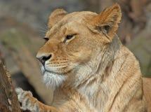 Mooie vrouwelijke leeuw stock afbeelding