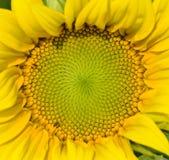 Mooie warme dichte zonnebloem stock foto's