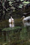 Mooie waterbird in de vijver Royalty-vrije Stock Afbeeldingen