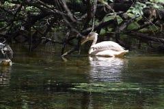 Mooie waterbird in de vijver Stock Foto