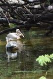 Mooie waterbird in de vijver Stock Foto's