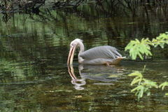 Mooie waterbird in de vijver Royalty-vrije Stock Foto