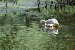 Mooie waterbird in de vijver Stock Afbeeldingen