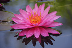 Mooie Waterlelie Royalty-vrije Stock Fotografie